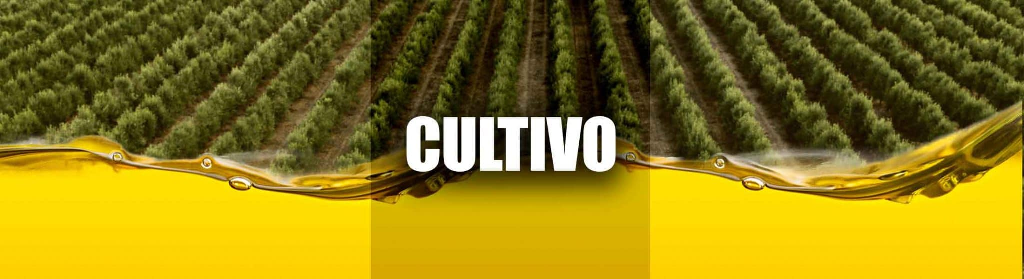 cultivo del olivo