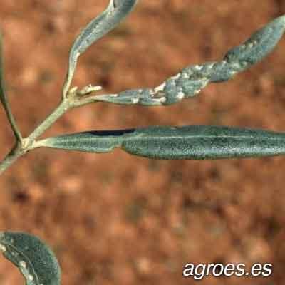 arañuelo olivo