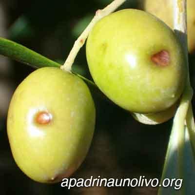 escudete olivo