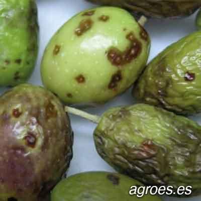 lepra del olivo